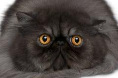 Gatto persiano, 19 mesi Immagine Stock