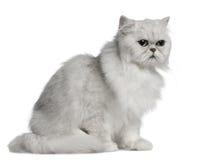 Gatto persiano, 2 anni, i di seduta Immagini Stock Libere da Diritti