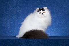 Gatto persiano 1 Fotografie Stock Libere da Diritti