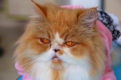 Gatto persiano Immagine Stock