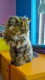 gatto persiano Fotografie Stock