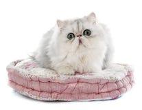 gatto persiano Fotografia Stock