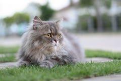 gatto persiano immagini stock