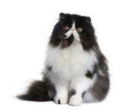 Gatto persiano, 9 mesi Fotografia Stock Libera da Diritti