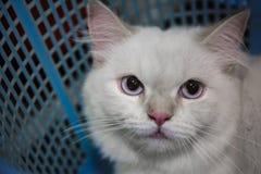 Gatto persiano adorabile Immagine Stock