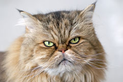 Gatto persiano arrabbiato Fotografia Stock