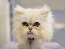 Gatto persiano bianco Immagini Stock