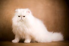 Gatto persiano bianco Immagine Stock
