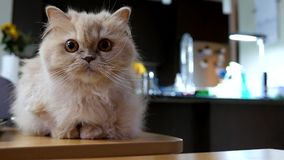 Gatto persiano che gioca con la gente