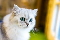 Gatto persiano che si siede nella stanza Fotografia Stock Libera da Diritti