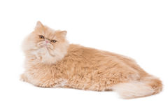 Gatto persiano che si siede sui precedenti bianchi Fotografia Stock