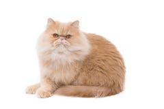 Gatto persiano che si siede sui precedenti bianchi Fotografia Stock Libera da Diritti