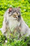 Gatto persiano che si siede sull'erba verde Fotografia Stock Libera da Diritti