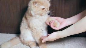 Gatto persiano che stringe mano con la gente stock footage