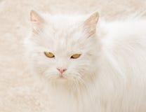 Gatto persiano con il primo piano lungo bianco dei peli e soddisfatto domestici degli occhi Immagine Stock Libera da Diritti