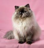 Gatto persiano del colorpoint del tortie della guarnizione fotografia stock libera da diritti