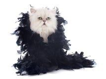 Gatto persiano e boa bianchi Immagine Stock