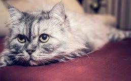Gatto persiano grigio Fotografia Stock