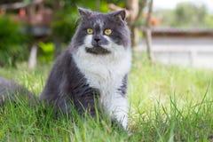 gatto persiano Grigio-bianco Immagini Stock