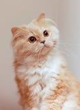 Gatto persiano a macroistruzione Fotografia Stock