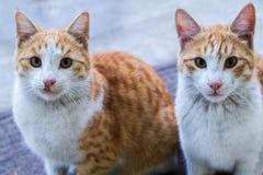 Gatto persiano nel residenziale Cabul, Afghanistan Fotografie Stock