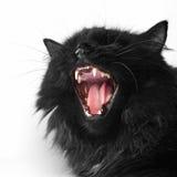 Gatto persiano nero arrabbiato fotografia stock libera da diritti