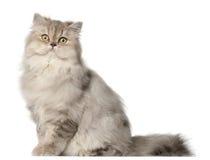 Gatto persiano, sedentesi davanti alla priorità bassa bianca immagini stock libere da diritti