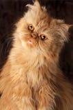 Gatto persiano sorpreso Fotografia Stock Libera da Diritti