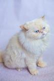 Gatto persiano un fondo leggero Fotografia Stock Libera da Diritti