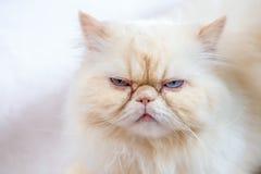 Gatto persiano un fondo leggero Immagini Stock Libere da Diritti