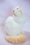 Gatto persiano un fondo leggero Immagine Stock