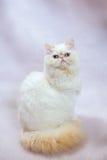 Gatto persiano un fondo leggero Fotografie Stock