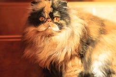 Gatto persiano variopinto irsuto Immagine Stock