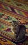 Gatto peruviano fotografia stock