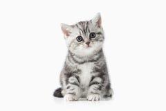 Gatto Piccolo gattino britannico d'argento su fondo bianco Fotografie Stock Libere da Diritti