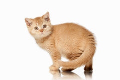 Gatto Piccolo gattino britannico rosso su fondo bianco Fotografia Stock Libera da Diritti