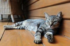 Gatto pigro Immagini Stock