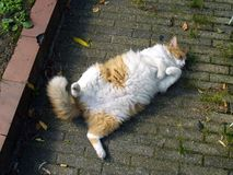 Gatto pigro. Fotografie Stock Libere da Diritti