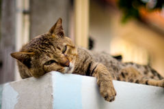 Gatto pigro Immagine Stock Libera da Diritti