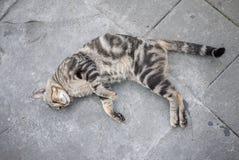Gatto pigro Immagine Stock