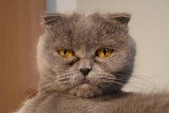 Gatto pigro Fotografia Stock Libera da Diritti