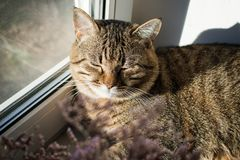 Gatto pigro che dorme sul davanzale Animale domestico domestico fotografia stock libera da diritti