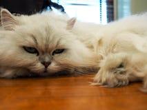 Gatto pigro che riposa a casa Fotografie Stock Libere da Diritti