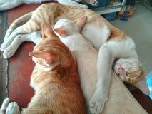Gatto pigro del Siam Fotografia Stock