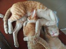 Gatto pigro del Siam Fotografia Stock Libera da Diritti
