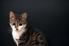 Gatto poco grigio e bianco Fotografia Stock