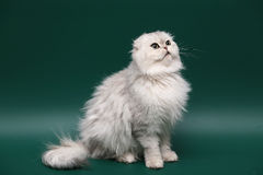 Gatto. Popolare dai capelli lunghi dello Scottish. Fotografie Stock