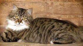 Gatto - posa di Maine Coon Immagini Stock