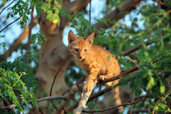 Gatto pronto a saltare dall'albero Fotografie Stock Libere da Diritti