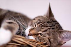 Gatto Protrait di un gatto di casa comune dell'europeo Fotografie Stock